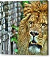 008 Lazy Boy At The Buffalo Zoo Acrylic Print