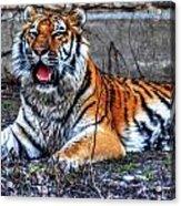 008 Siberian Tiger Acrylic Print