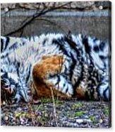 009 Siberian Tiger Wubb Me Bellwee Poweesh Acrylic Print