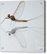 01 Cloeon Mayfly On My Window Acrylic Print