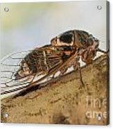 01 New Forest Cicada  Acrylic Print