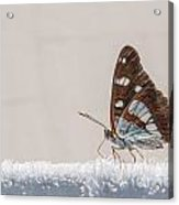 01 Southern White Admiral Butterfly Acrylic Print