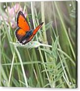 02 Balkan Copper Butterfly Acrylic Print
