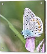 02 Common Blue Butterfly Acrylic Print