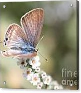 02 Long-tailed Blue Butterfly Acrylic Print