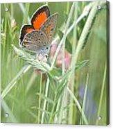 03 Balkan Copper Butterfly Acrylic Print