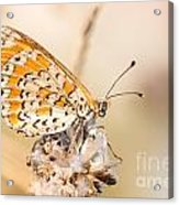 03 Lesser Spotted Fritillary Acrylic Print