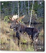 0340 Bull Moose 2 Acrylic Print