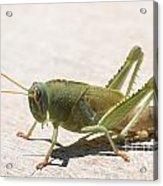05 Egyptian Locust Grasshopper Acrylic Print