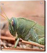 08 Egyptian Locust Grasshopper Acrylic Print