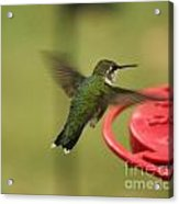 Ruby-throated Hummingbird  Acrylic Print