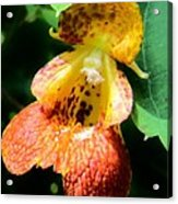 Spotted Jewelweed Acrylic Print