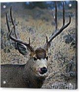 4x4 Mule Deer Buck   #7714 Acrylic Print