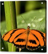 A Banded Orange Heliconian Butterfly Acrylic Print