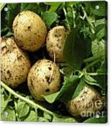 A Bunch Of Fresh New Potatoes Acrylic Print
