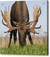 A Large Bull Moose Feeds Near Point Acrylic Print
