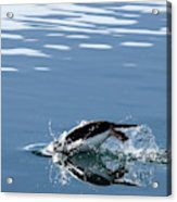A Penguin Swims Through The Clear Acrylic Print