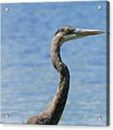 A Portrait Of A Great Blue Heron  Acrylic Print