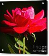A Red Rose Acrylic Print