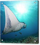 A Reef Manta Ray  Manta Alfredi Acrylic Print