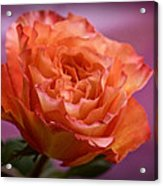 A Rose For Saturday Acrylic Print