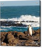 Adult Nz Yellow-eyed Penguin Or Hoiho On Shore Acrylic Print