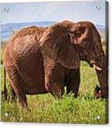 African Desert Elephant Acrylic Print