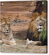 African Lion Couple Acrylic Print