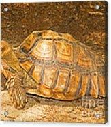 African Spur Thigh Tortoise Acrylic Print
