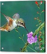 Allens Hummingbird Acrylic Print