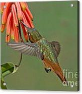 Allens Hummingbird Feeding Acrylic Print