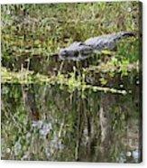 Alligator In Swamp Acrylic Print