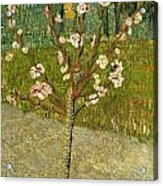 Almond Tree In Blossom Acrylic Print