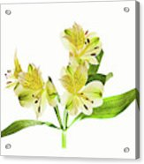 Alstroemeria Flowers Against White Acrylic Print