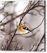American Goldfinch In Winter Acrylic Print