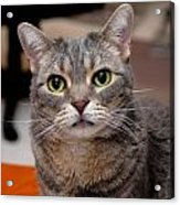 American Shorthair Cat Portrait Acrylic Print