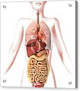 Anatomy Of Female Body With Internal Acrylic Print by Leonello Calvetti