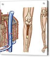 Anatomy Of Human Bone Marrow Acrylic Print