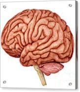 Anatomy Of Human Brain, Side View Acrylic Print