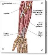 Anatomy Of Human Forearm Muscles, Deep Acrylic Print