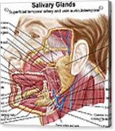 Anatomy Of Human Salivary Glands Acrylic Print
