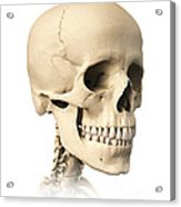 Anatomy Of Human Skull, Side View Acrylic Print by Leonello Calvetti
