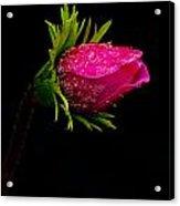 Anemone Flower On Black Acrylic Print