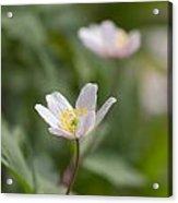 Anemone Windflower Acrylic Print
