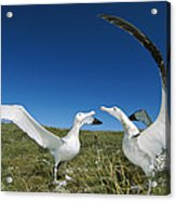 Antipodean Albatross Courtship Display Acrylic Print by Tui De Roy