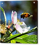 Apple Blossom And Honey Bee Acrylic Print