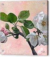 Apple Blossoms Acrylic Print