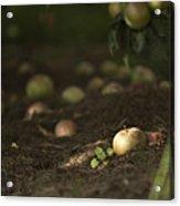 Apple Tree Acrylic Print