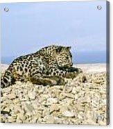 Arabian Leopard Panthera Pardus 1 Acrylic Print