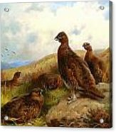 Red Grouse Acrylic Print